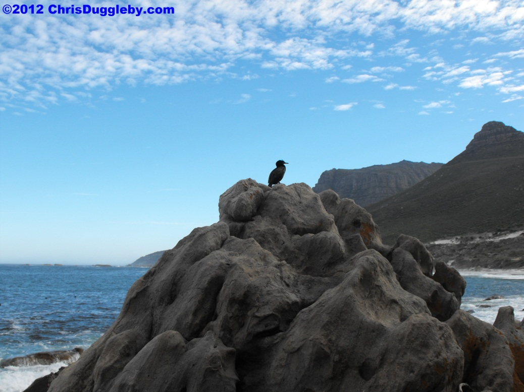 Bird Exposing Herself on Sandy Bay Rocks, Cape Town