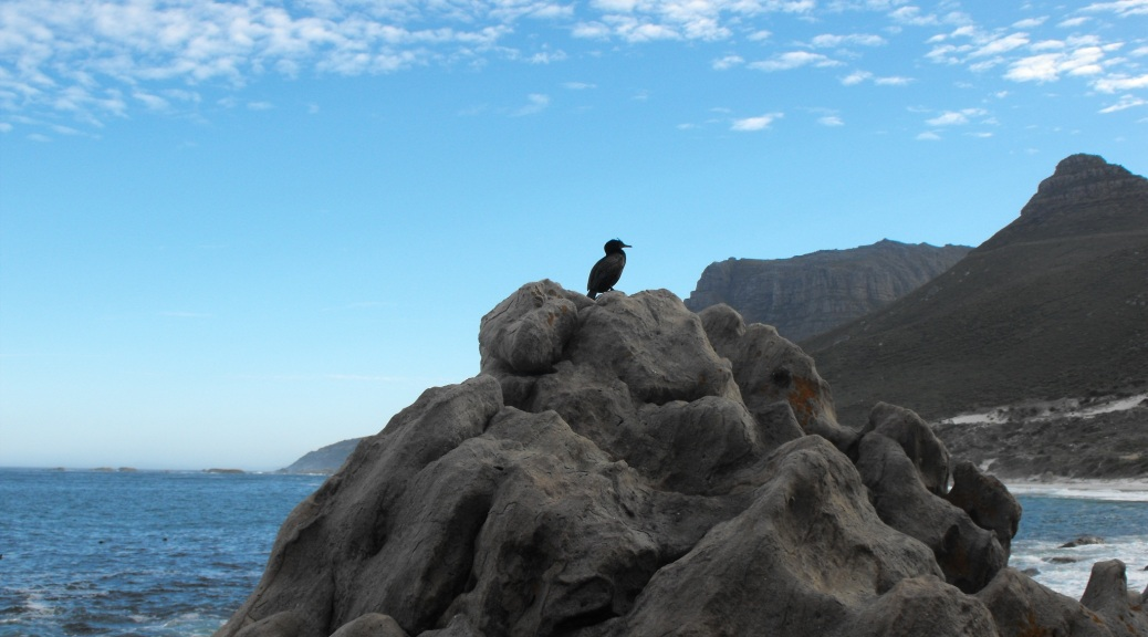Bird Exposing Herself on Sandy Bay Rocks, Cape Town