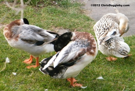 3 Alpine Ducks Dancing to Julia Fischer's Vivaldi at Schloss Nymphenburg