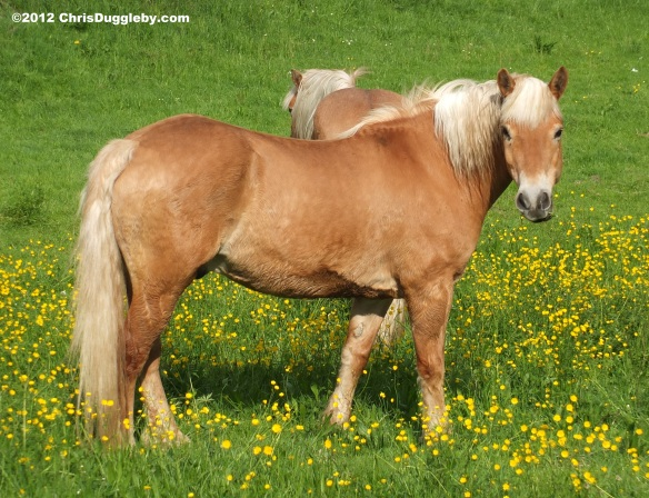 Riskko's friend Nobbin the horse in the buttercups (not in the poo!)