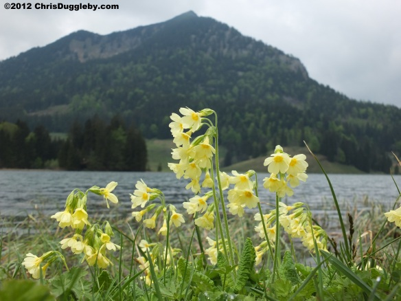 Spring Flowers by the Spitzingsee