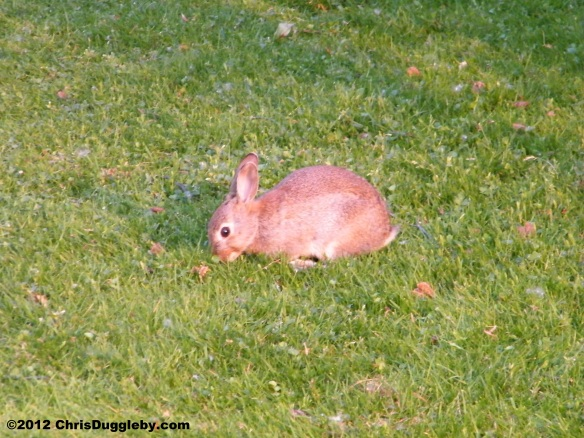 A rabbit taking lunch at the Bochum Stadtpark Kinderspielplatz - See RISKKO's Dog Blog