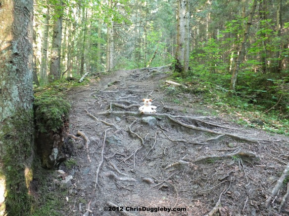 As the forest path gets steeper the tree roots provide much needed additional footholds