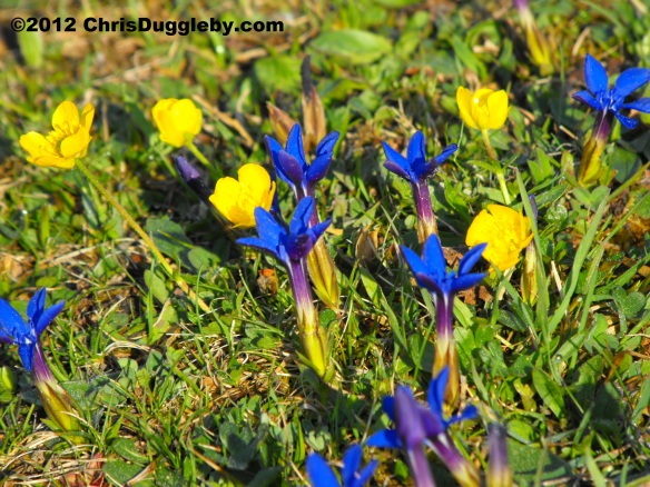 Alpine Flowers from the Schwarzenberg Plateau 1