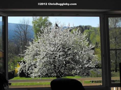 My favourite cherry blossom tree taken from my office desk in spring