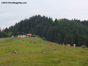 Cows grazing on the Alm or Alpine meadow near the summit of the Schwarzenberg Mountain in the Bavarian Voralpenland