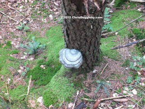 Tree Fungus 7: Blue White Bavarian Flag Pizza growing in the Schwarzenberg Forest