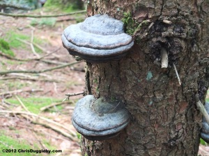 Tree Fungus 8: Twin Blue Cheese Pizzas growing in the Schwarzenberg Forest