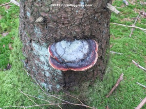 Tree Fungus 10: Double Salami with Mozzarella Pizza tree growing in the Schwarzenberg Forest