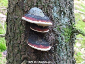 Tree Fungus 11: Triple Deep Pan Pizza with extra topping growing in the Schwarzenberg Forest near Bad Feilnbach