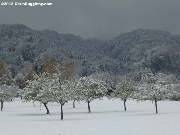 Apple trees in October after the first winter's snow hit the Bad Feilnbach orchards