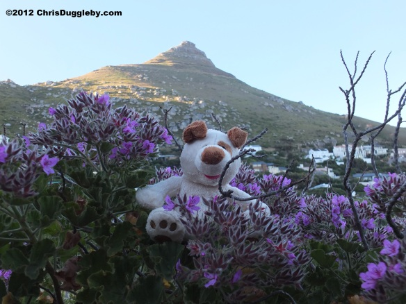 More beautiful Llandudno wild flowers providing a pleasant foreground to Rhodes Mountain