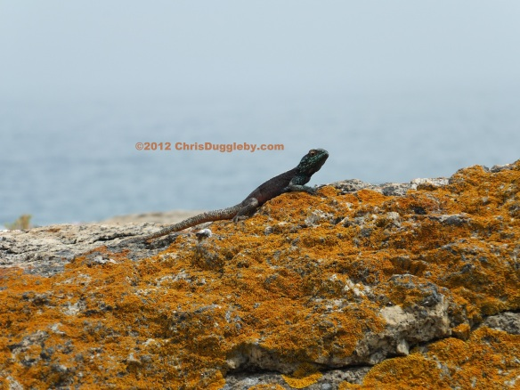 Charlie the cheerful crocodile looks out over Sunset Rocks near Llandudno, Cape Town