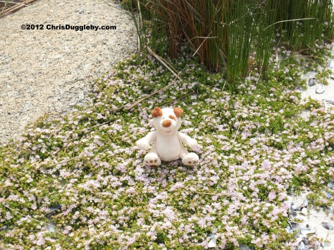 RISKKO sitting in a bed of beautiful white daisies near to Sandy Bay beach