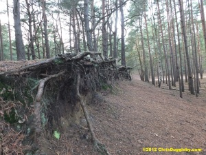 Interesting tree root structures around the Horsell Common sand pits
