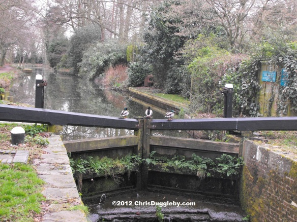 In the Winter the ducks find the Basingstoke Canal a bit chilly on the feet. They prefer to cross-over using the locks