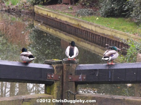 As well as being a good bridge the locks provide a useful place for the ducks to watch out for naughty foxes