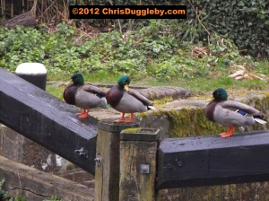 On a cold Winter's morning there is nothing the ducks like more than a good gossip on the locks