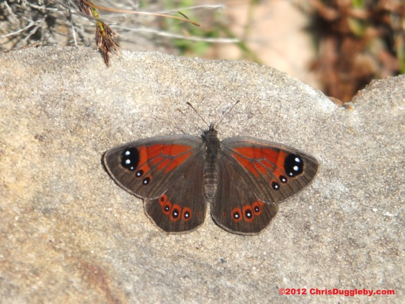 Billy Butterfly who came to join RISKKO on his trek up Chapmans Peak (taken from the mountain path)