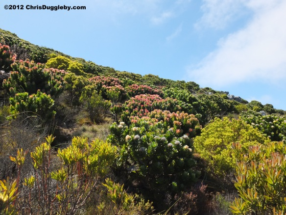 The countryside around Chapmans Peak is an explosion of colourful vegetation