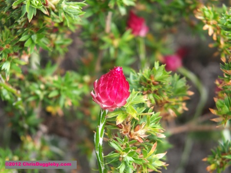 Amazing wild flowers from South Africa picture Nr. 6 from the Chapman's Peak trail, Cape Town