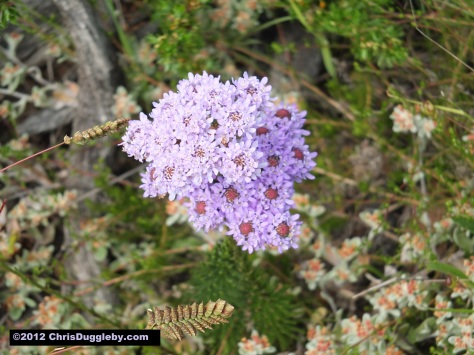 Amazing wild flowers from South Africa picture Nr. 9 from the Chapman's Peak trail, Cape Town