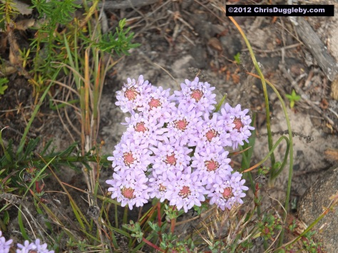 Amazing wild flowers from South Africa picture Nr. 10 from the Chapman's Peak trail, Cape Town