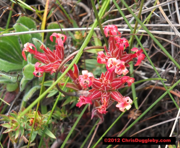 Amazing wild flowers from South Africa picture Nr. 12 from the Chapman's Peak trail, Cape Town