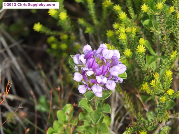 Amazing wild flowers from South Africa picture Nr. 13 from the Chapman's Peak trail, Cape Town