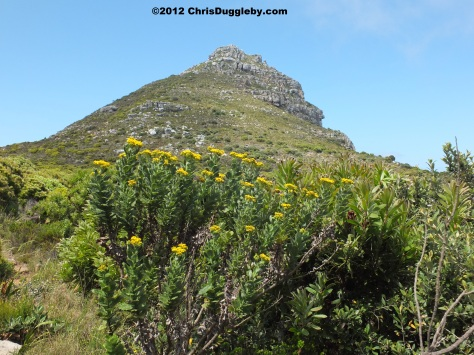 Amazing wild flowers from South Africa picture Nr. 17 from the Chapman's Peak trail, Cape Town