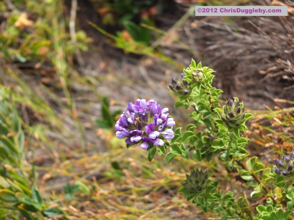 Amazing wild flowers from South Africa picture Nr. 18 from the Chapman's Peak trail, Cape Town