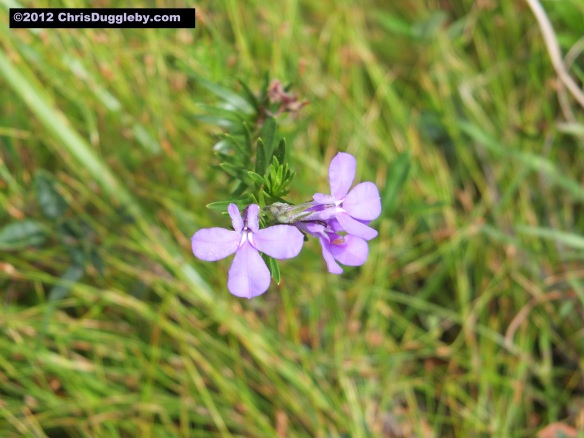 Amazing wild flowers from South Africa picture Nr. 20 from the Chapman's Peak trail, Cape Town