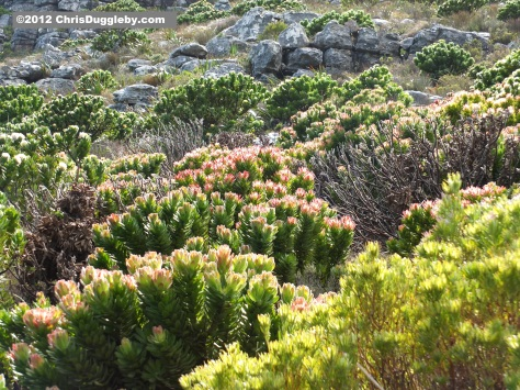 Amazing wild flowers from South Africa picture Nr. 22 from the Chapman's Peak trail, Cape Town