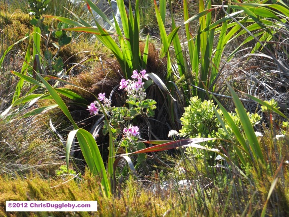 Amazing wild flowers from South Africa picture Nr. 25 from the Chapman's Peak trail, Cape Town
