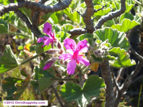 Amazing wild flowers from South Africa picture Nr. 26 from the Chapman's Peak trail, Cape Town