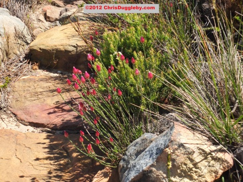 Amazing wild flowers from South Africa picture Nr. 27 from the Chapman's Peak trail, Cape Town