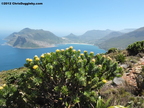 Amazing wild flowers from South Africa picture Nr. 28 from the Chapman's Peak trail, Cape Town