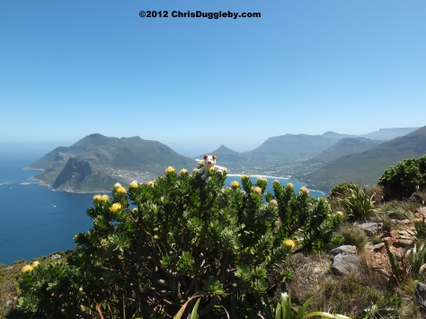 Amazing wild flowers from South Africa (and cute little dogs) from the Chapman's Peak trail overlooking Hout Bay