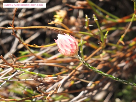 Amazing wild flowers from South Africa: picture Nr. 30 from the Chapman's Peak trail, Cape Town