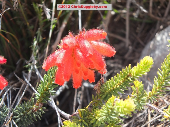 Amazing wild flowers from South Africa: picture Nr. 33 from the Chapman's Peak trail, Cape Town