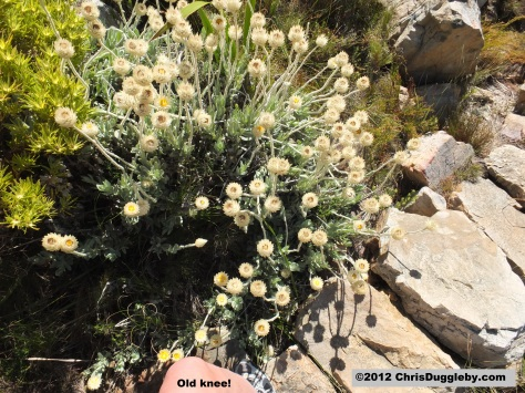 Amazing wild flowers from South Africa: picture Nr. 35 from the Chapman's Peak trail, Cape Town