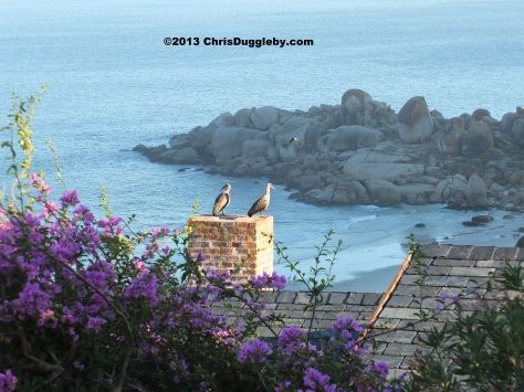 From Llanduno we take the mountain road to Sandy Bay via Sunset Rocks and come across two local birds checking out the action on the beach