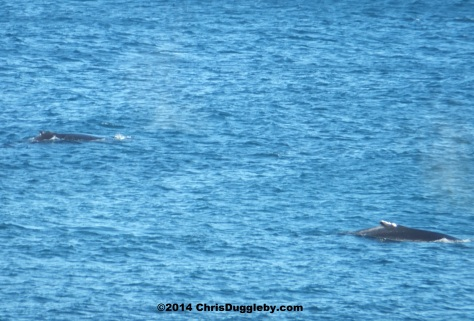 Wilf and Wendy regularly pop over for some romantic whale fun near Sandy Bay