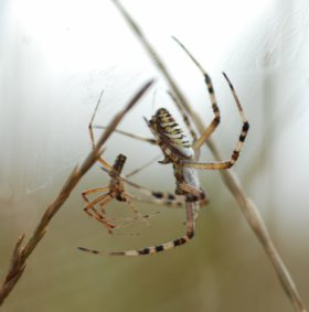 Agriope bruennichi male and female in foreplay prior to sexual cannibalism and self castration. Picture with kind acknowledgements to Stafanie Zimmer Uni Hamburg