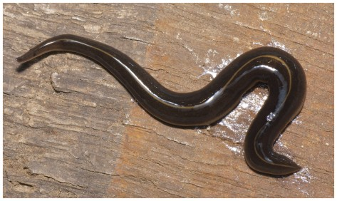 Primed to attack any unsuspecting prey - The Invasive Alien Species of carnivorous Flatworm which has now been discovered in Europe. Photo by courtesy of Pierre Gros
