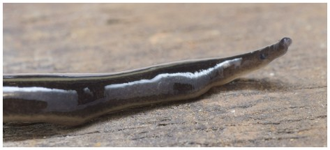 Invasive Alien Species of carnivorous Flatworm. You don't want to come face to face with this unpleasant sharp end in your garden on a dark night! Photo courtesy of Pierre Gros