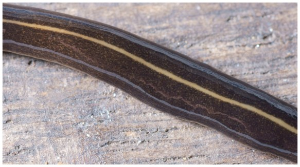 Invasive Alien Species of Tree climbing carnivorous Flatworm. Close-up of its characteristic body markings - not to be confused with a harmless grass snake. Photo courtesy of Pierre Gros