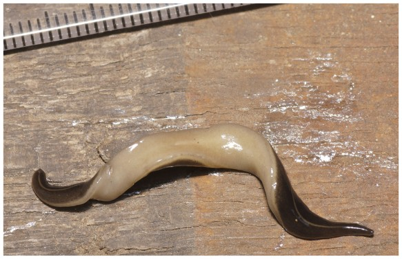 Just about to pounce - This Invasive Alien Species flatworm preys on defenceless molluscs and worms. This garden killer is about to wreak havoc in Europe. Photo by courtesy of Pierre Gros
