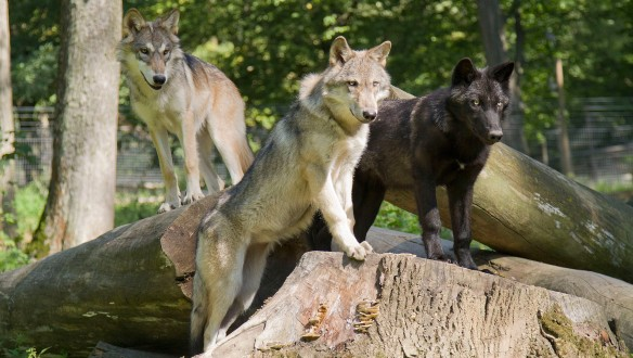 Young wolves Wamblee, Kay and Tala from the USA and Canada, now residing at the Wolf Science Centre near Vienna. Photo kindly provided by Peter Kaut.