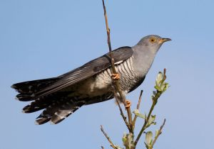 Another Species the Common Cuckoo (used to be called the European Cuckoo) Cuculus Canorus (Photo: CC from Vogelartinfo kind acknowledgements to Chris Romeiks)